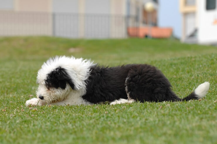 English Sheep Dog Puppy