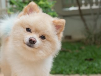How Much Does A Pomeranian Cost? The Ultimate Buyer's Guide Cover