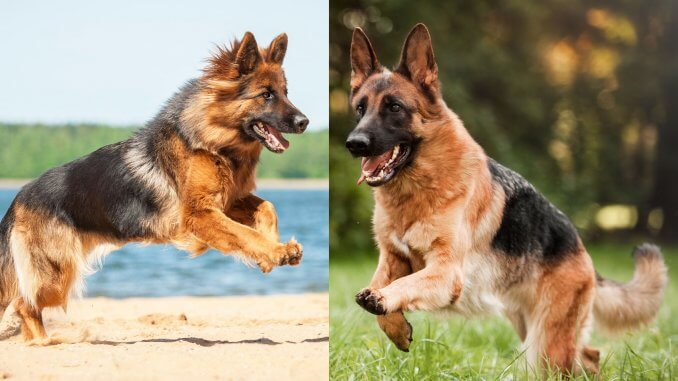 Long Haired German Shepherd Vs Short