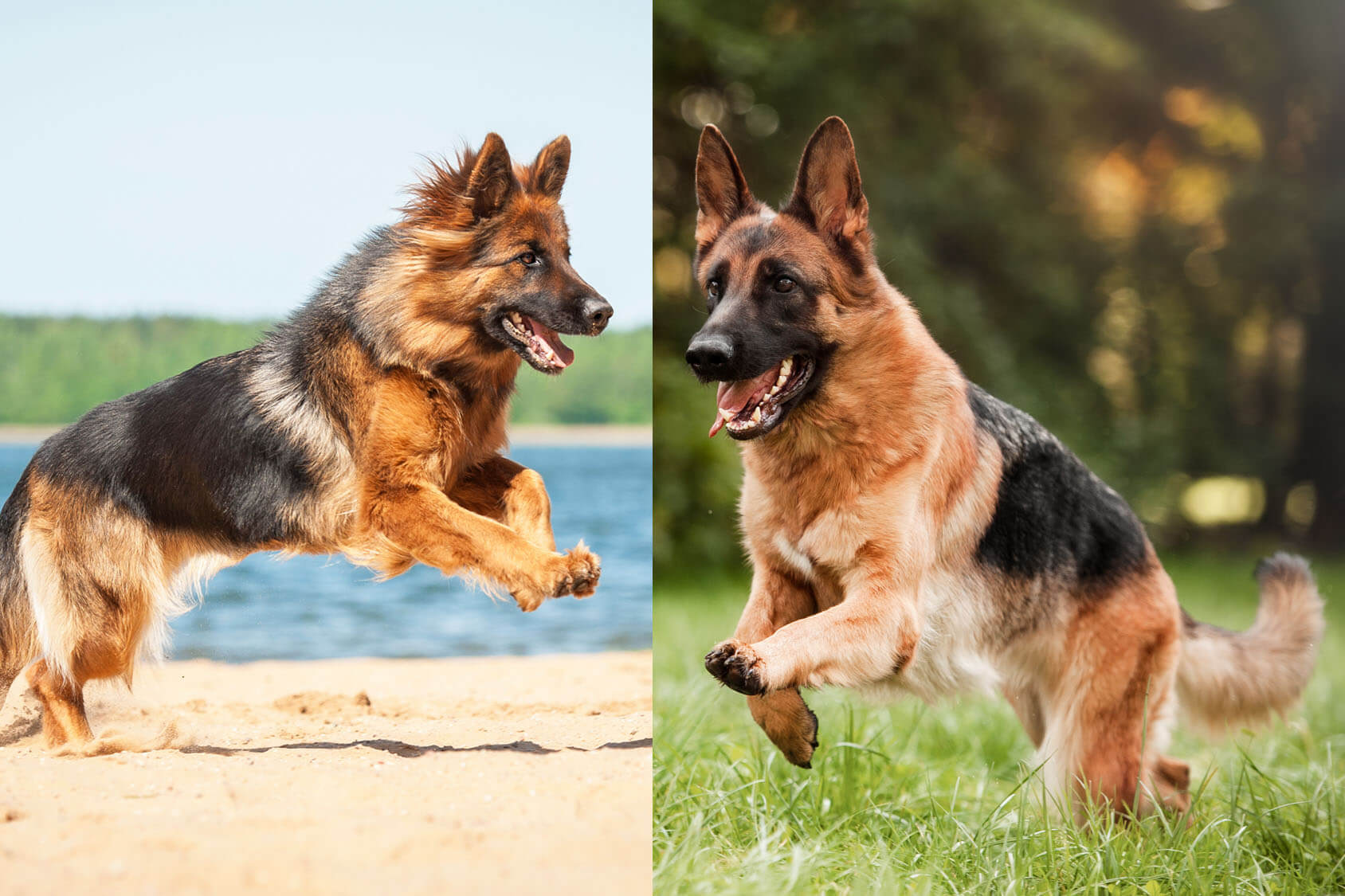 Long Haired German Shepherd Vs Short Haired 5 Must Know Differences Perfect Dog Breeds