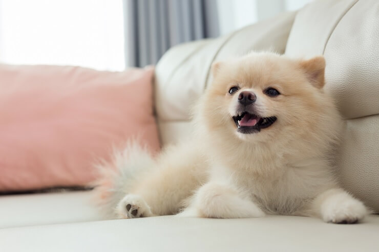 How Much Does A Pomeranian Cost? The Ultimate Buyer's Guide