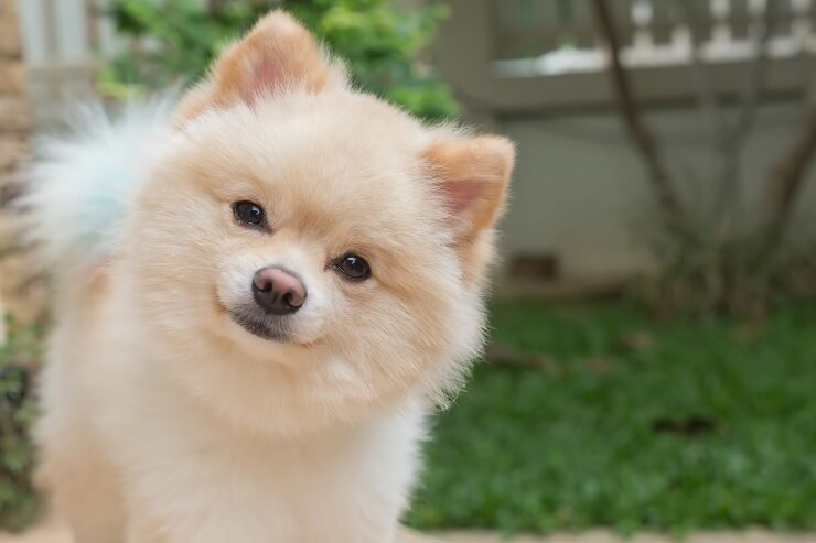 How Much Does A Pomeranian Cost The