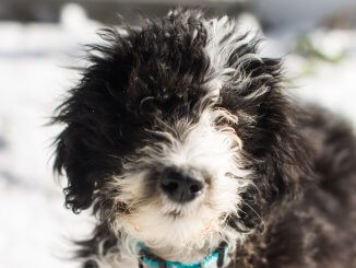 Sheepadoodle Complete Pet Parent Care Guide Breed Info and More... Cover