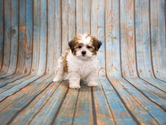 Shih Poo Ultimate Pet Parent Care Guide and 7 Fun Facts Cover