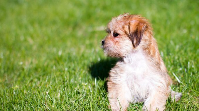Shorkie Breed Info and 7 Must Know Facts For Pet Parents Cover