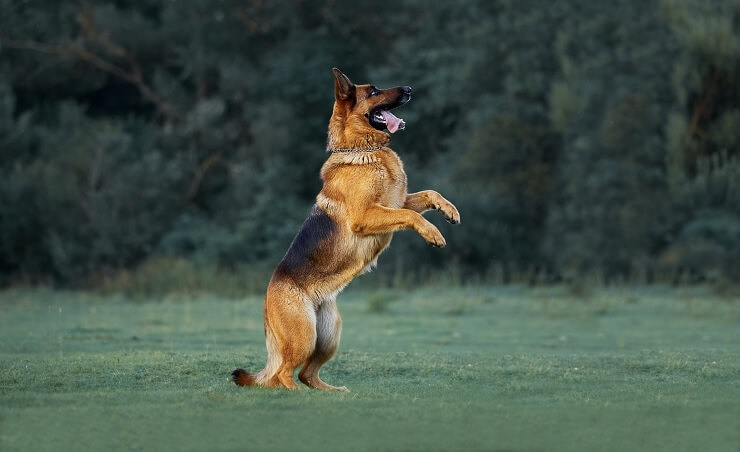 Short Haired German Shepherd Jumping