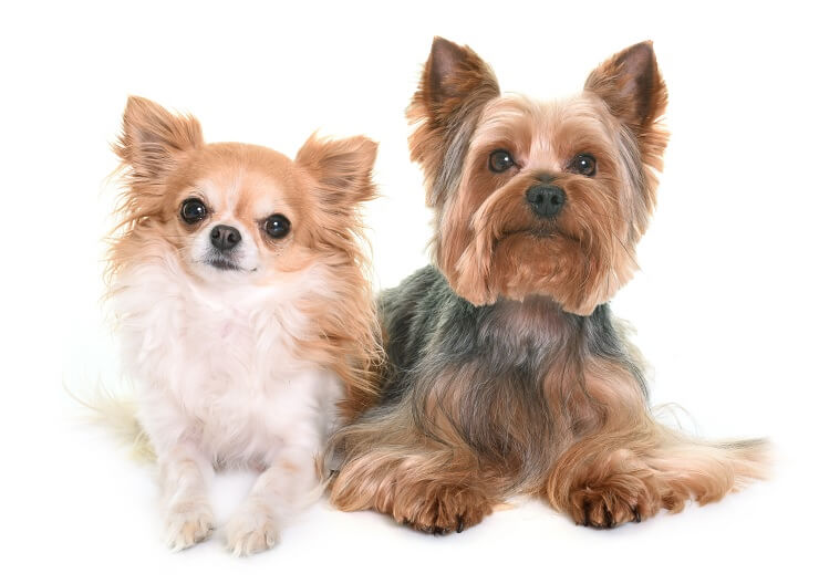 Yorkshire Terrier and a Chihuahua
