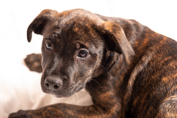 A Brindle Pitbull Puppy