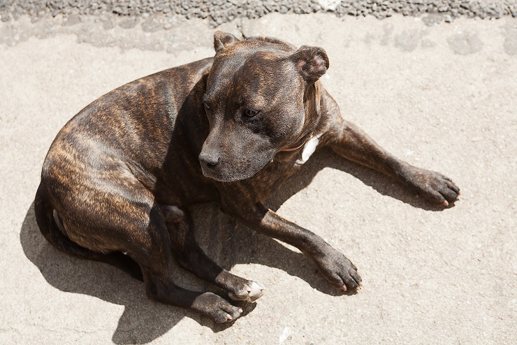 Brindle Pitty