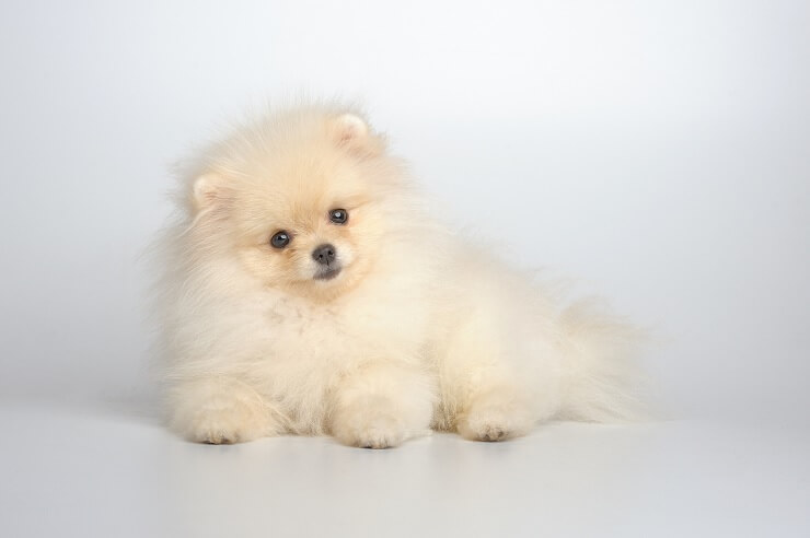 German Spitz What To Know About This