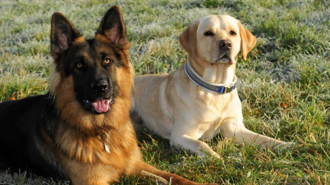 Golden Retriever German Shepherd Mix The Ultimate Family Dog