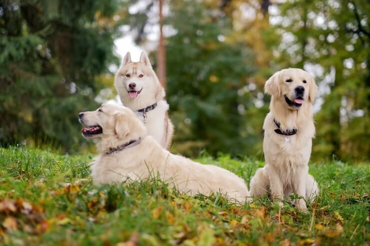 Golden Retrievers with A Husky