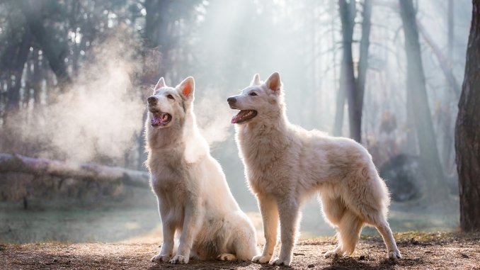 """Northern Inuit Dog What To Know Before Getting This """"Wolf"""" Cover"""