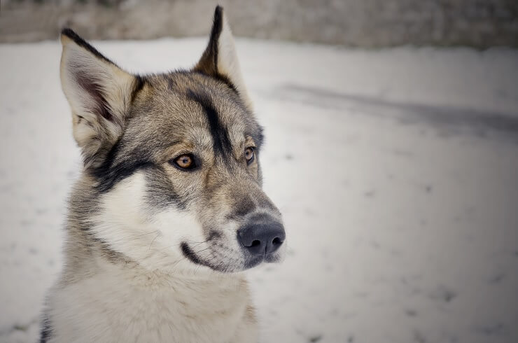 Northern Inuit Dog White and Brown