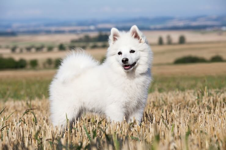 Walking a German Spitz