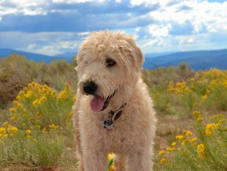 Whoodle Is The Lively Wheaten Terrier Poodle Mix For You? Cover