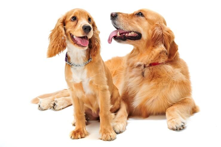 Cocker Spaniel and Golden Retriever