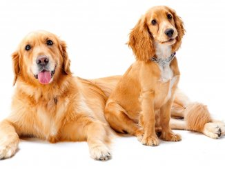 Golden Cocker Retriever Guide The Ultimate Family Pet Cover