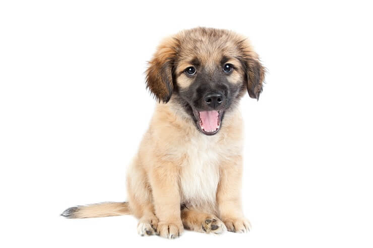Golden Retriever German Shepherd Puppy
