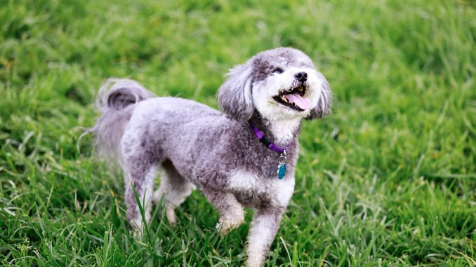 Schnoodle Dog Breed Information Everything You Need To Know Cover
