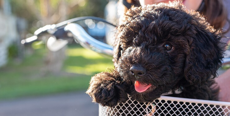 Schnoodle Dog