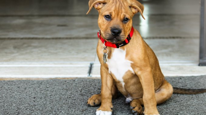 The Ultimate Pitbull Boxer Mix Guide Bouncy and Dangerous or Loveable Goof Cover