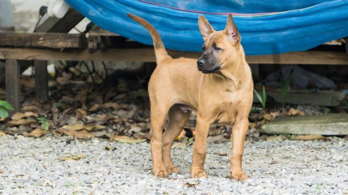 Black Mouth Cur Owner's Guide What To Know Before Buying Banner