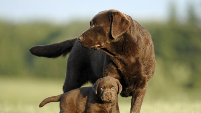 Chocolate Lab Names 300+ Names For Your Chocolate Coated Furry Friend Cover