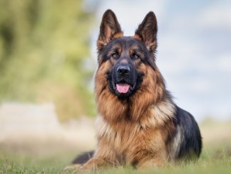 German Shepherd Names 300+ Greatest Names For Your Pup Cover