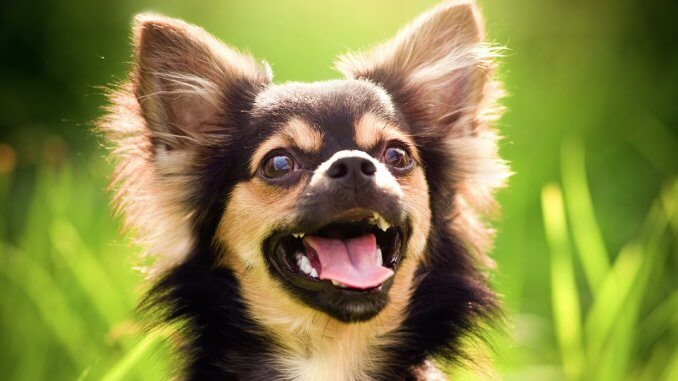 Chihuahua Names 100+ Fabulous Names For Your Little Pup Cover