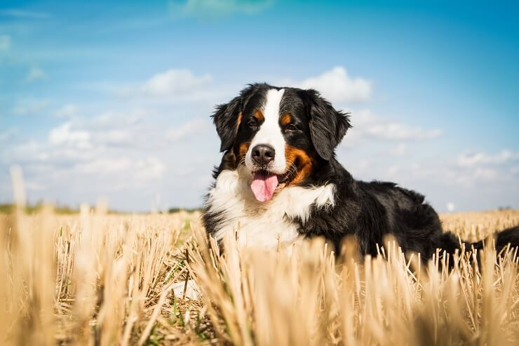 Bernese Mountain Dog Care Guide The Ultimate Forever Puppy