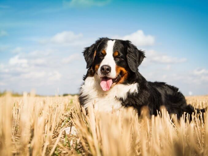 Bernese Mountain Dog Care Guide The Ultimate Forever Puppy Cover