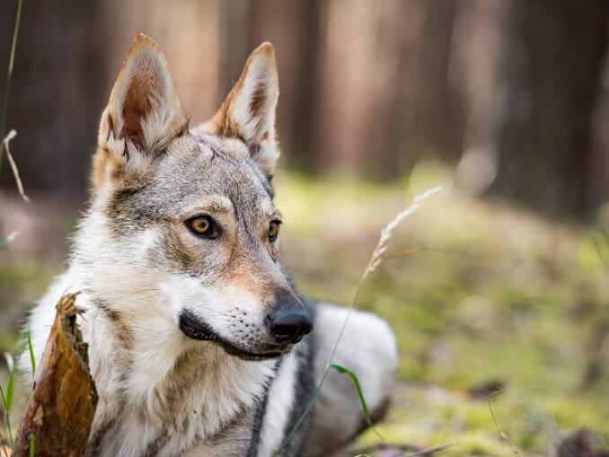 German Shepherd Wolf Mix Is This Legendary Wolfdog Right For You Cover
