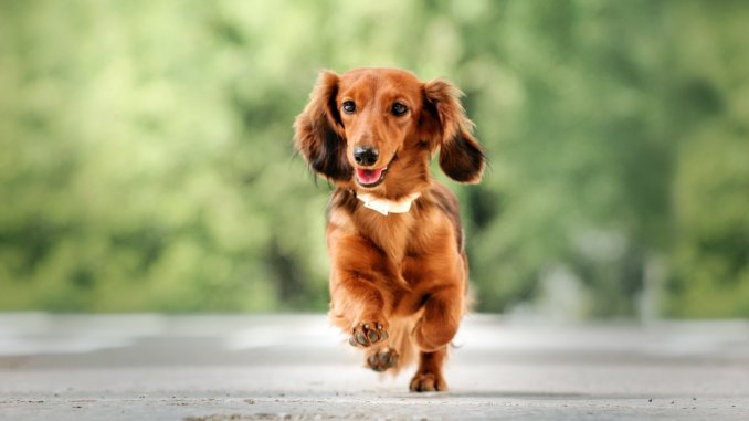 Long Haired Dachshund Care Guide Colors, Temperament And More… Cover