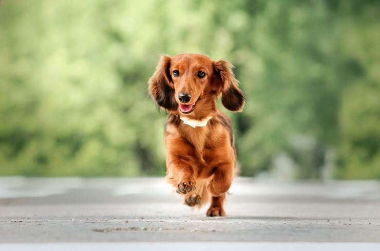 Running Long Haired Dachshund