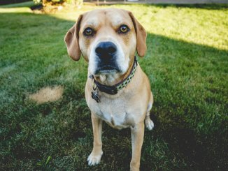 The Beagle Lab Mix Care Guide Playful Menace or Sweet Family Dog Cover