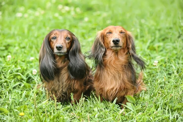 Two Long Haired Dachshunds