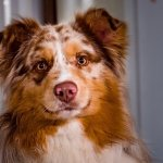 An Border Collie Australian Shepherd Mix