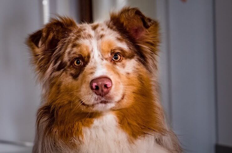Border Collie Australian Shepherd Mix by thevetscare.com