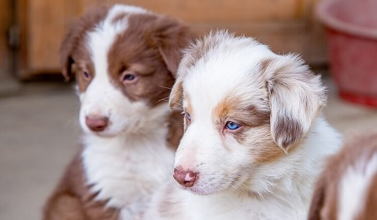 Border Collie Australian Shepherd Mix puppy by thevetscare.com