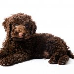 Labrador and Miniature Poodle