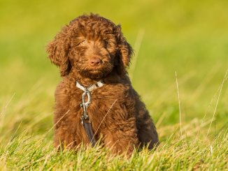 Mini Labradoodle Care Guide The Adorable Teddy Bear Family Dog Cover