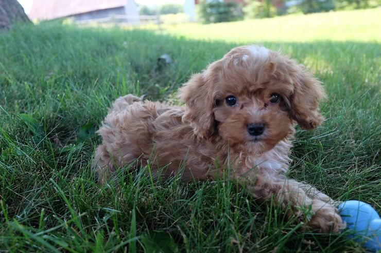 Cavalier King Charles Spaniel Poodle Mix