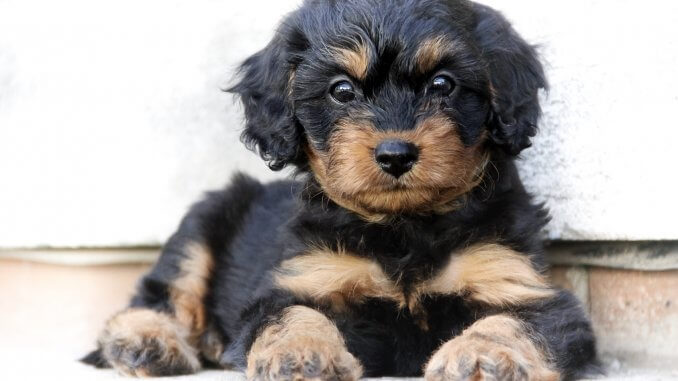 Cavapoo What To Know About This Stunning Family Dog Cover