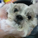 Cleaing a shih tzu mix