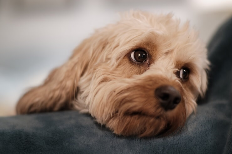 Close up cavalier poodle