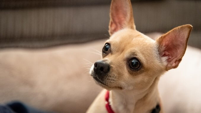 Deer Head Chihuahua What to Know Before Buying Cover