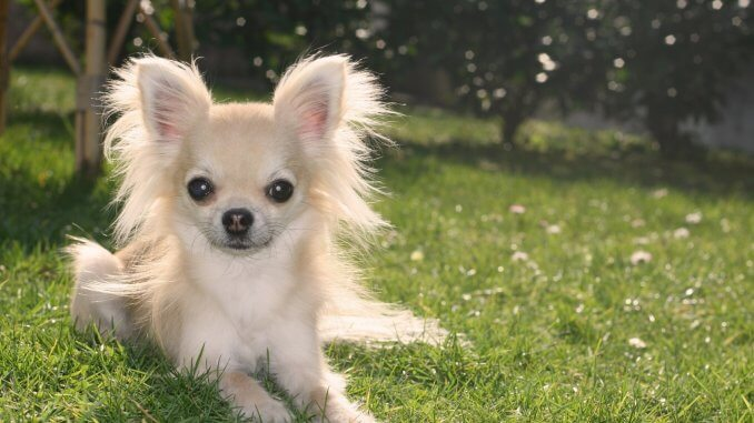 Long Haired Chihuahua A Small And Mighty Furry Friend Cover
