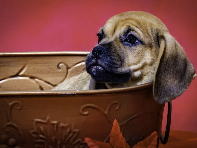 Puggle Is This Mischievous Dog Right For You? Cover