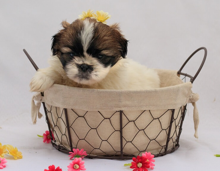 Puppy Shih Tzu Mix